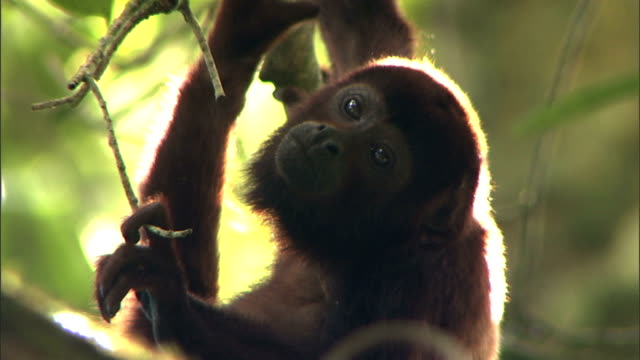 vídeos y material grabado en eventos de stock de a howler monkey uses its prehensile tail as it climbs in a tree. - temas de animales
