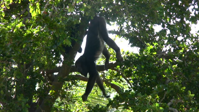 howler monkey - hanging stock videos & royalty-free footage