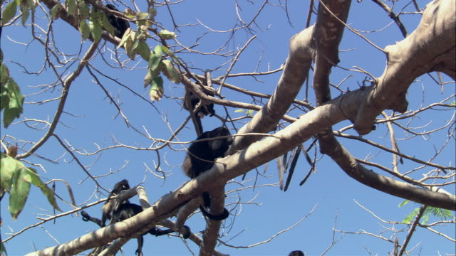 MS Howler Monkeys climbing and howling on tree / Guanacaste, Costa Rica