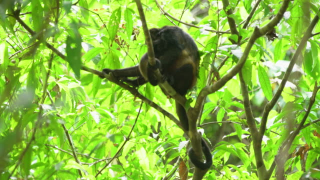 LS Howler monkeys on the tree