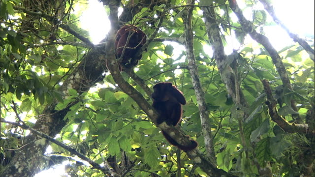 howler monkeys scratch as they perch in leafy trees. - branch stock videos & royalty-free footage