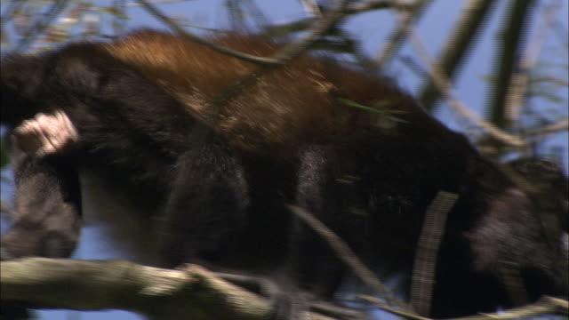 vidéos et rushes de a howler-monkey climbs higher into a tree. - herbivore