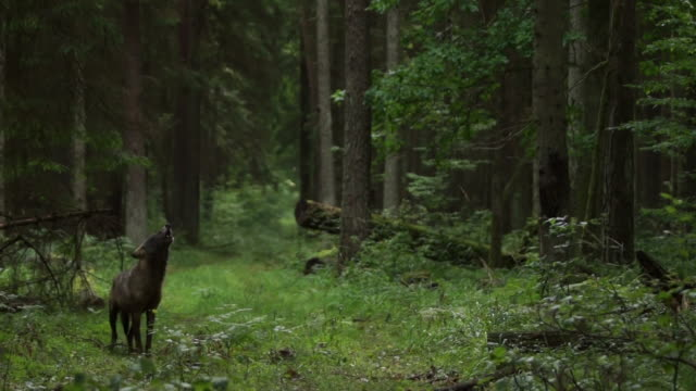 howling wolf in dark forest - wolf stock videos & royalty-free footage