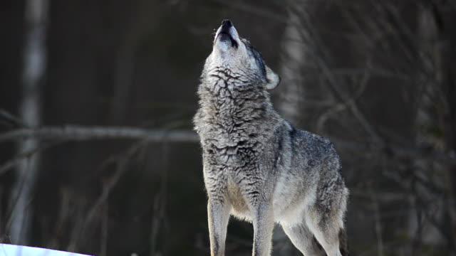 howling wolf - animals hunting stock videos and b-roll footage