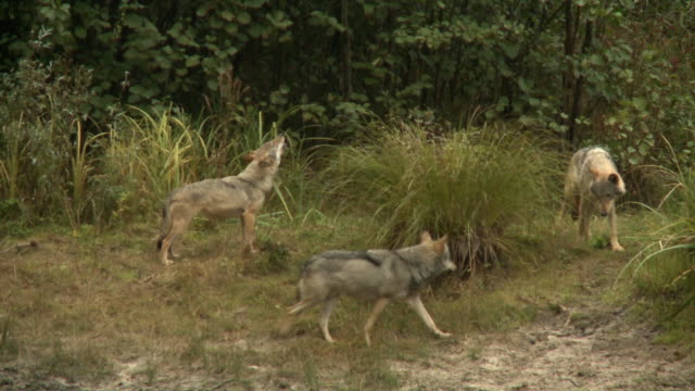 howling wolves near the pond - group of animals stock videos & royalty-free footage