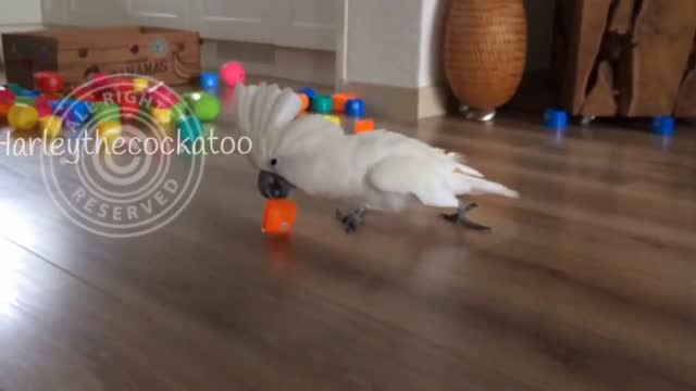 //www.youtube.com/channel/ucn312mulxcu3cip17kqhvya harley the cockatoo is a very talented bird, and now she can add agility to her growing list of... - add list stock videos & royalty-free footage