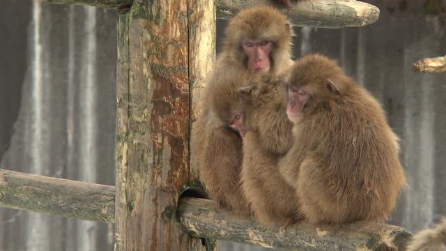 huddled monkeys in ishikawa, japan - ishikawa prefecture stock videos and b-roll footage