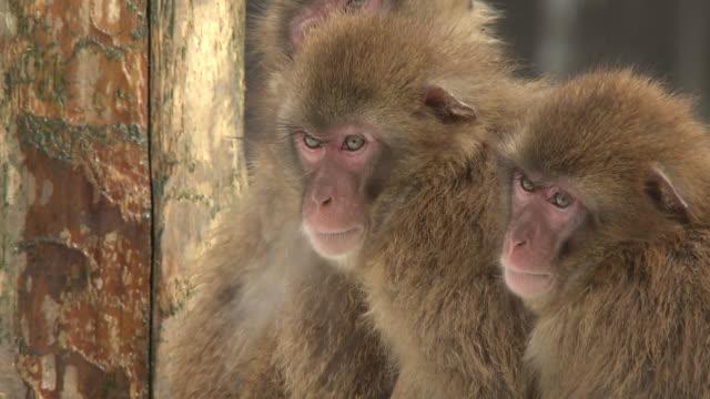 vídeos y material grabado en eventos de stock de huddled monkeys in the snow in ishikawa, japan - ishikawa prefecture