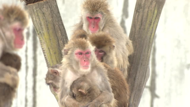 huddled monkeys in the snow in ishikawa, japan - ishikawa prefecture stock videos and b-roll footage
