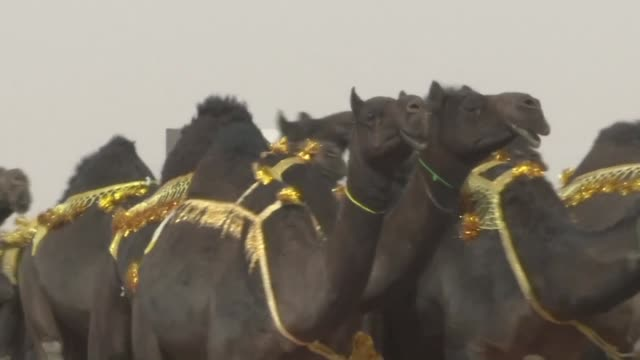 huddled together on a dusty racetrack saudi judges scrutinise pouty lips and shapely humps in a high stakes camel beauty pageant mired in scandal... - plastic surgeon stock videos & royalty-free footage