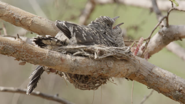 huge african cuckoo (cuculus gularis) chick in fork tailed drongo nest, zambia - cuckoo stock videos and b-roll footage