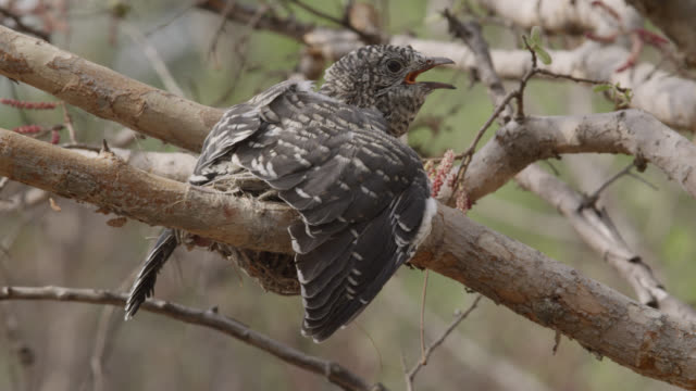 Huge African cuckoo (Cuculus gularis) chick in fork tailed drongo nest, Zambia