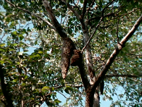 huge azteca ants nest hanging in tree next to large hanging wasp nest zi ms wasps crawling on ext hive pan tiny azteca ants crawling on ext nest... - symbiotic relationship stock videos & royalty-free footage
