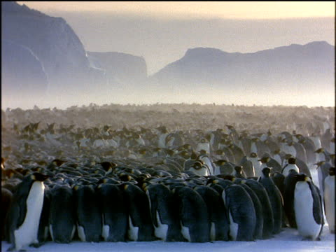 huge breeding colony of emperor penguins huddle together in windy antarctic, wind blows snow across colony as penguins waddle past in foreground - pinguin stock-videos und b-roll-filmmaterial