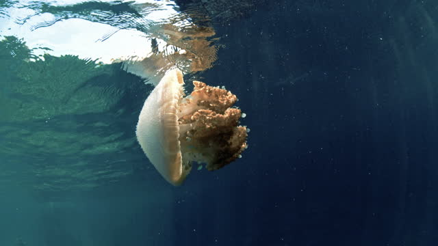 huge common jellyfish in indian ocean thailand - sea life stock videos & royalty-free footage