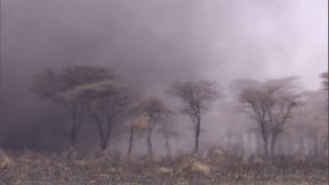 A huge, dark dust devil swirls past trees on the savanna. Available in HD.