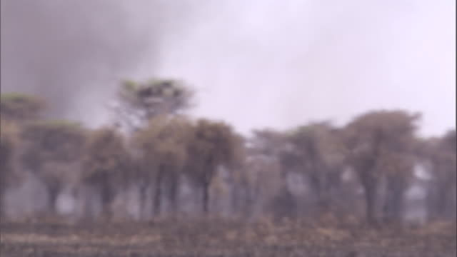 A huge dust devil swirls behind the few trees growing on the savanna. Available in HD.