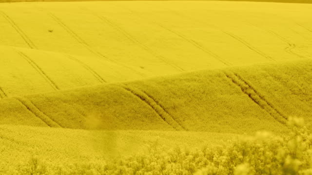 ws huge field of colorful canola in moravia - czech republic stock videos & royalty-free footage