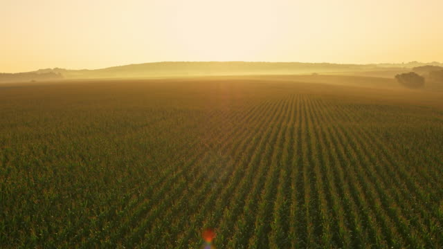 aerial huge field of corn at dawn - field stock videos & royalty-free footage