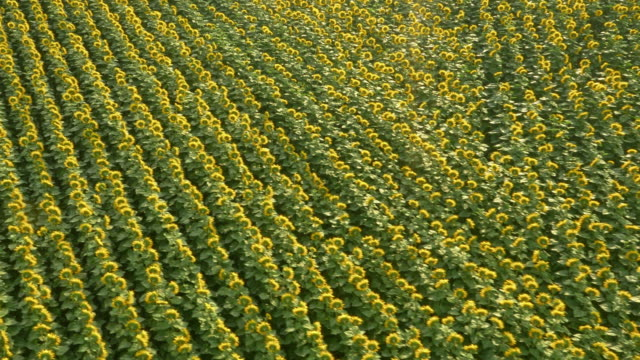 AERIAL riesigen Sonnenblumenfeld