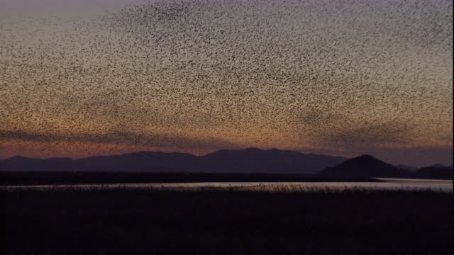 A huge flock of Baikal teals swarms in unison above a lake. Available in HD.