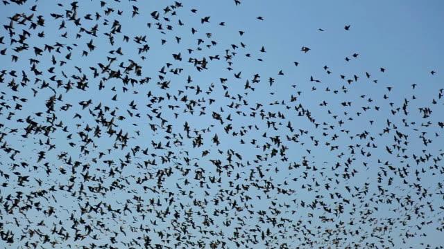 huge flock of birds - flock of birds stock videos & royalty-free footage