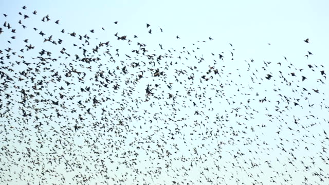 huge flock of birds - flock of birds stock videos & royalty-free footage
