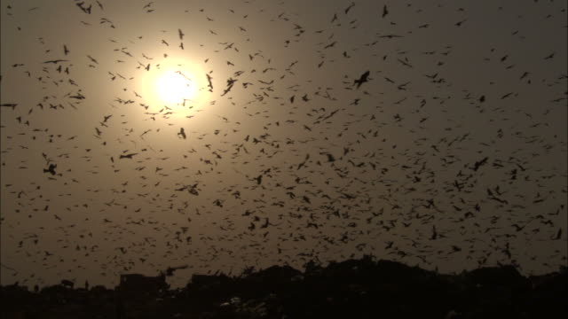 Huge flock of black kites in sky over rubbish tip at sunset Available in HD.