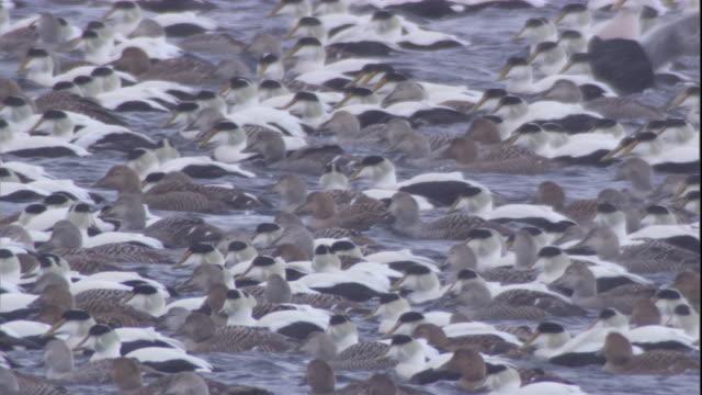 a huge flock of eider ducks floats on an icy lake. available in hd. - ホンケワタガモ点の映像素材/bロール