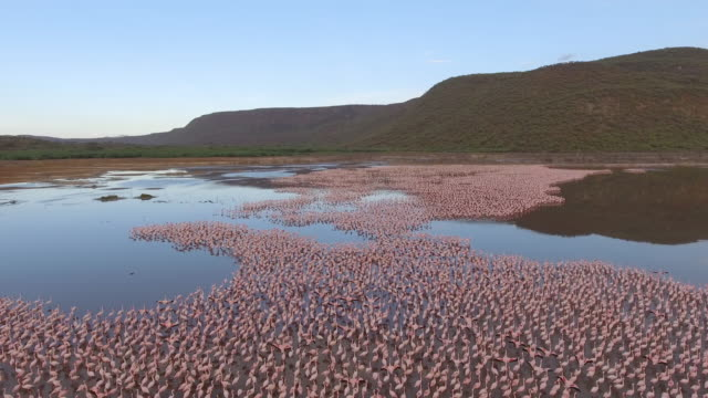huge flock of flamingos in an african lake - colony group of animals stock videos & royalty-free footage