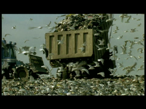 vídeos y material grabado en eventos de stock de huge flock of gulls fly around dumper as it empties rubbish onto fresh kills landfill site - camión de descarga