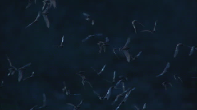slomo cu pan huge flock of mexican free tailed bats flying with rock in background - colony group of animals stock videos & royalty-free footage
