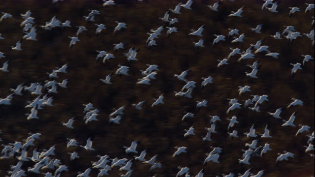 A huge flock of snow geese flies over marshland along the Delaware Bay. Available in HD.