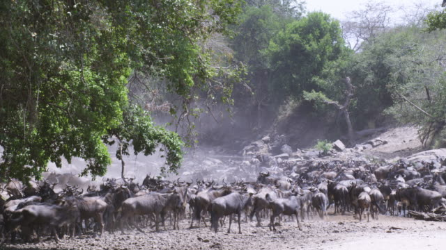 Huge group of migrating Wildebeest stampede away from camera across dry riverbed as African lioness runs through foreground