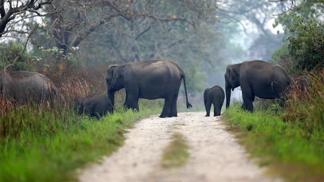 a huge herd of asiatic elephants crossing the road in a forest of india - herbivorous stock videos & royalty-free footage
