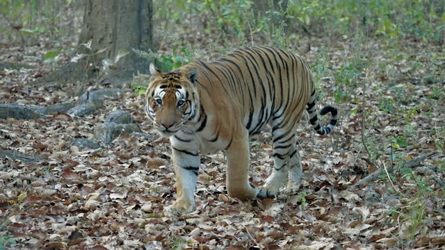a huge male bengal tiger walking in a central forest in india in slow motion - male animal stock videos & royalty-free footage