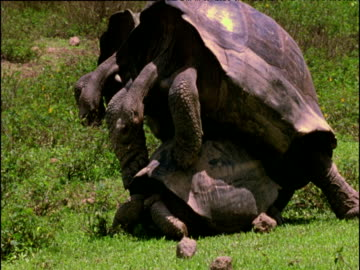huge male giant tortoise mating with smaller female, galapagos islands - landschildkröte stock-videos und b-roll-filmmaterial