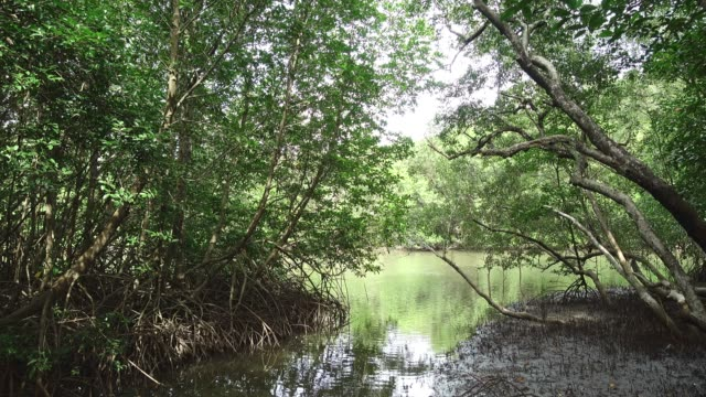 A huge mangrove field of Thung Prong Thong forest in Rayong at Thailand