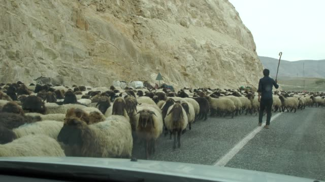 huge mixed herd of angora goats and karayaka sheep moving on a road in eastern anatolia, turkey causing traffic problems - valla djur bildbanksvideor och videomaterial från bakom kulisserna