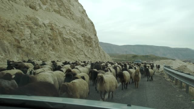Huge Mixed Herd Of Angora Goats And Karayaka Sheep Moving On A Road In Eastern Anatolia, Turkey Causing Traffic Problems