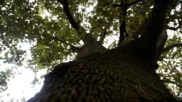 huge old tree with a green crown. slow camera movement along a tree trunk