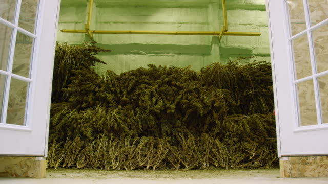 a huge pile of harvested, unprocessed marijuana (cannabis) plants lay drying in an indoor storage facility (hemp) - legalisation stock videos & royalty-free footage