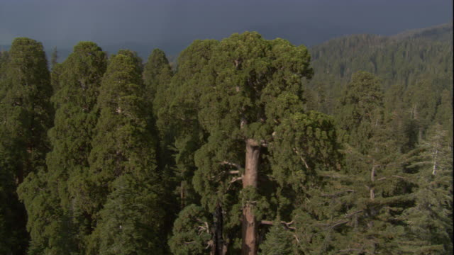 A huge redwood tree towers in a California forest. Available in HD.