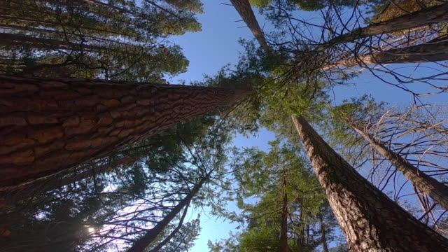 huge redwoods from below in the yosemite valley. - nationalpark stock-videos und b-roll-filmmaterial