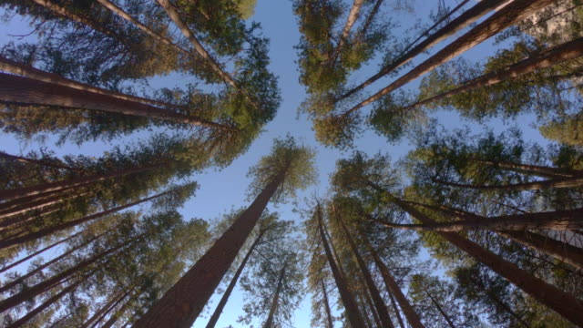 Huge redwoods from below in the Yosemite Valley.