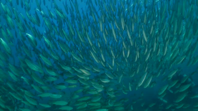 huge school of fish swimming like ternedo undersea in galapagos - school of fish stock videos & royalty-free footage