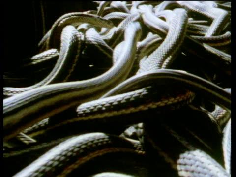 Huge seething mass of red sided garter snakes breeding after emerging from hibernation.