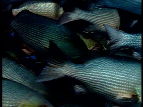 huge shoal of bohar snappers swim towards and past camera. - tierhaut stock-videos und b-roll-filmmaterial