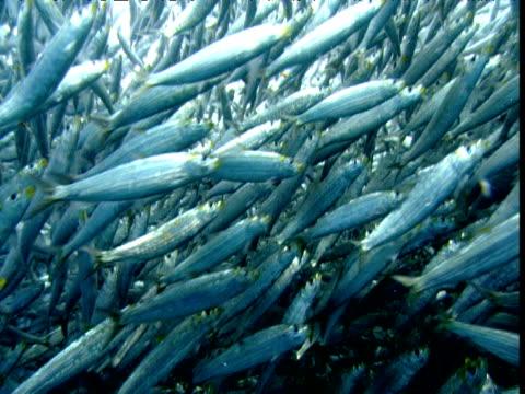 Huge shoal of fish, New Zealand