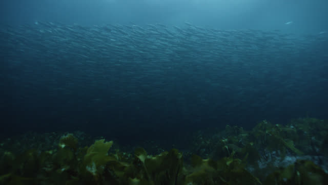 huge shoal of herring swims in ocean, norway - seaweed stock videos & royalty-free footage